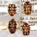 Bassareus brunnipes (Olivier)  - Bassareus brunnipes