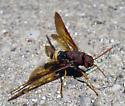 Type Of Hornet? - Tremex columba - female