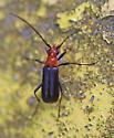 Longhorn beetle - Charisalia americana