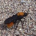 Thistledown Velvet Ant - Dasymutilla gloriosa - male