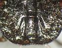 Dallasiellus californicus?