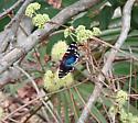Faithful Beauty - Composia fidelissima