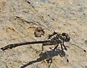Clubtail - Phanogomphus quadricolor
