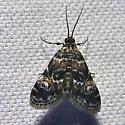 Waterlily Leafcutter Moth - Elophila obliteralis - male