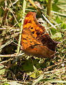Is this a question mark butterfly? - Polygonia interrogationis