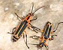 Margined Leatherwing - Chauliognathus marginatus - male - female