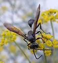 isodontia - Isodontia mexicana
