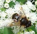 Drone Fly - Eristalis tenax - female