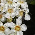 Molorchus bimaculatus ? - Molorchus bimaculatus