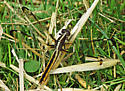 Unknown Dragonfly - Libellula cyanea - female