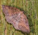 Unknown Moth - Drepanulatrix - female