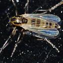 Midge - Cricotopus - female