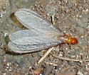 Pacific Dampwood Termite Reproductive -- Zootermopsis angusticollis - Zootermopsis angusticollis