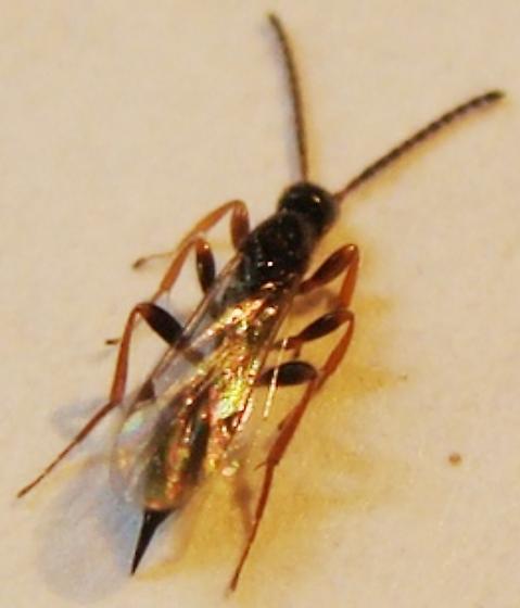 Proctotrupid - Exallonyx - female