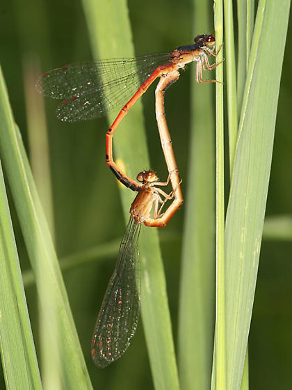 mating Eastern Red Damsels - Amphiagrion saucium - male - female