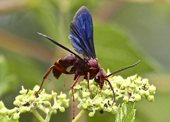 Spider Wasp? - Poecilopompilus algidus