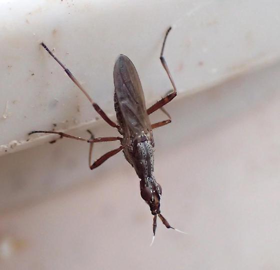 bug - Odontoloxozus longicornis