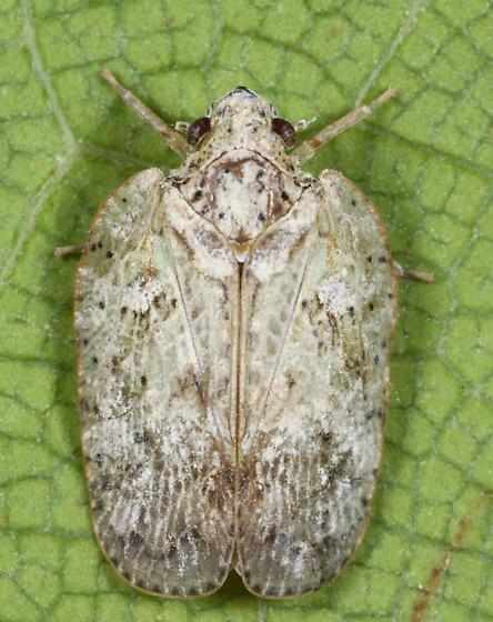 Flatoidinus - Flatoidinus punctatus