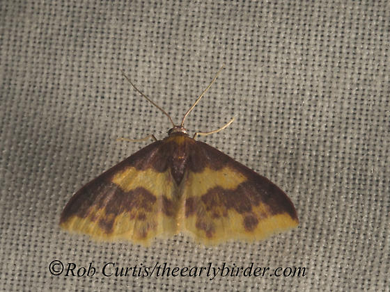 9049953 moth - Lophosis labeculata - female