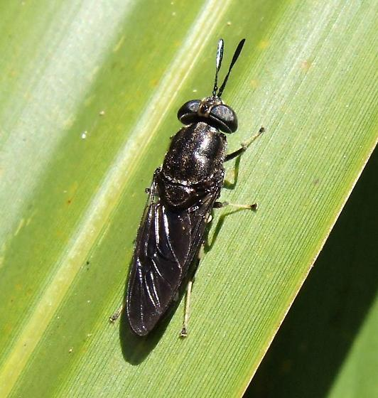 Soldier Fly - Hermetia illucens