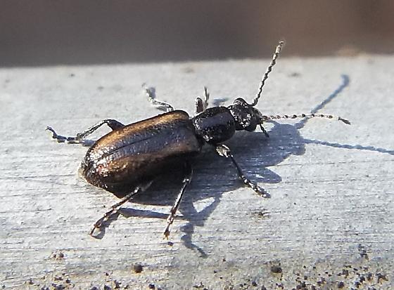 Ravenous Leaf Beetle? - Orsodacne atra