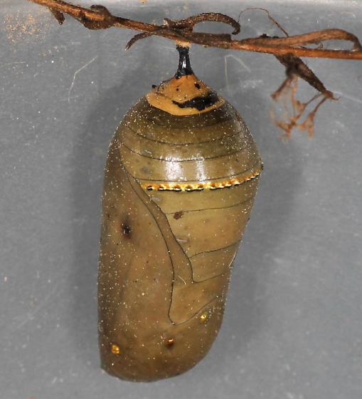 Parasitized monarch chrysalis - Danaus plexippus