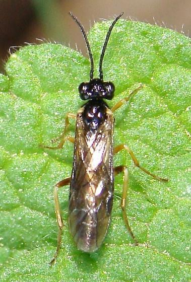 Tan legged Sawfly - Ametastegia pallipes