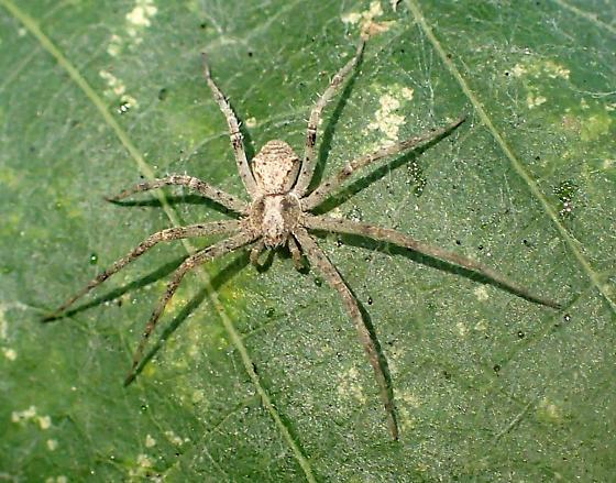 Philodromus cf. speciosus - Philodromus speciosus - female