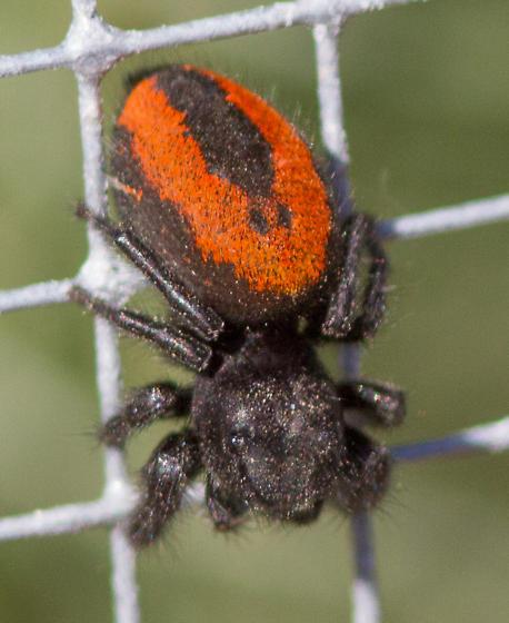 female Phidippus johnsoni, Johnson Jumping Spider, please confirm (vs. p ardens) - Phidippus johnsoni - female