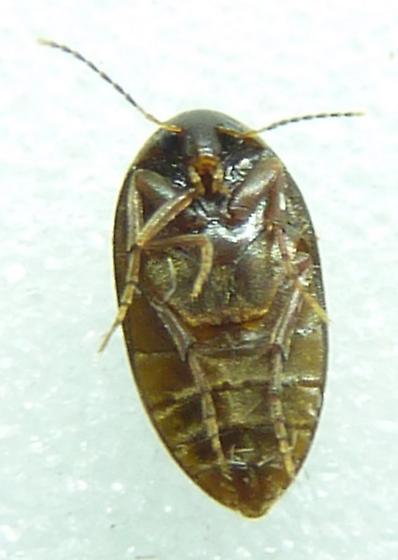 Plate Thigh Beetle- Nycteus infumatus? - Nycteus infumatus