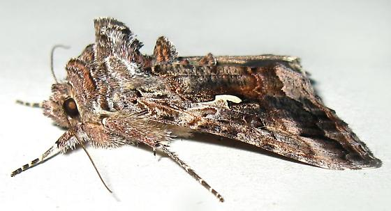 Alfalfa Looper Moth - Autographa californica