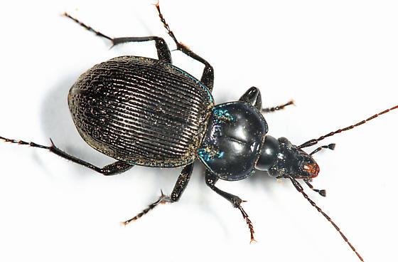 Small Snail Eating Beetle - Sphaeroderus stenostomus - female