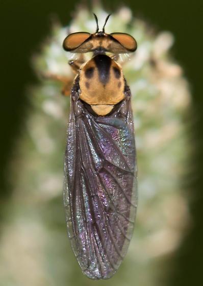 Holcocephala sp? - Holcocephala