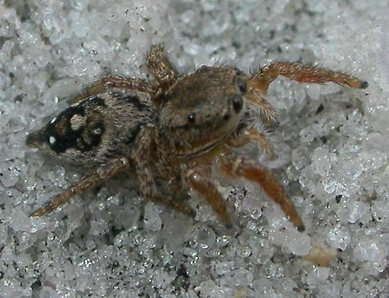 Habronattus brunneus - female