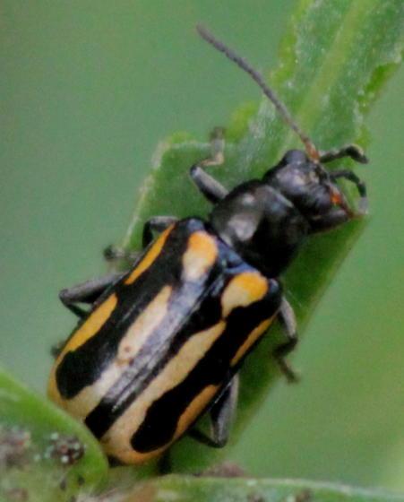 Aquatic Plant Leaf Beetle - Agasicles hygrophila