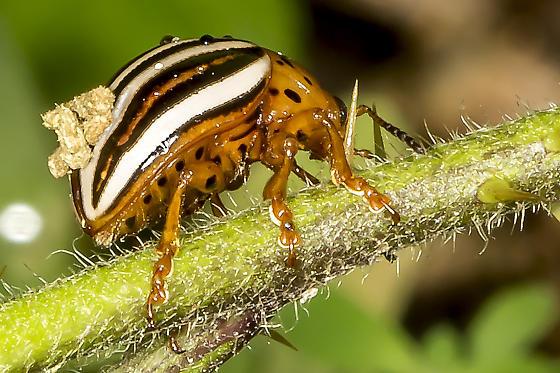 beetle resting on stem - Leptinotarsa juncta