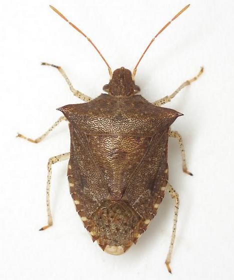 Euschistus tristigmus (Say) - Euschistus tristigmus