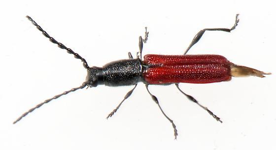 Coleoptera - Ancylocera bicolor