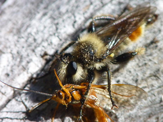 Bee-like Robber Fly with Ophion sp. prey - Laphria fernaldi
