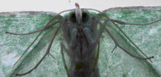 S. Emerald Moth on window (ventral legs) - Synchlora frondaria - female