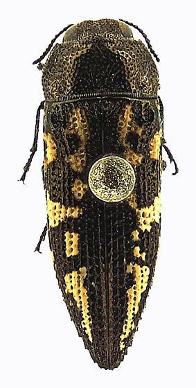Acmaeodera cuneata Fall - Acmaeodera cuneata