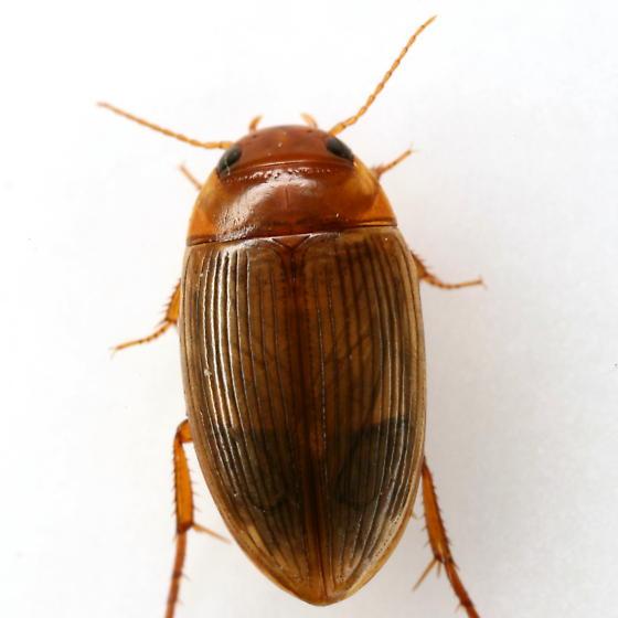 Copelatus glyphicus (Say) - Copelatus glyphicus