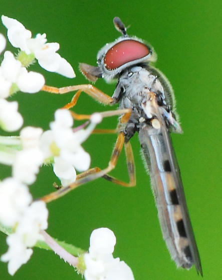 Syrphidae Flies Genus Platycheirus female - Platycheirus hyperboreus - female
