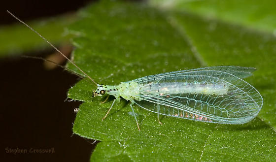 Assiniboine Lacewing - Chrysopa chi