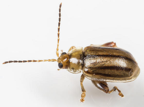 Beetle - Capraita subvittata