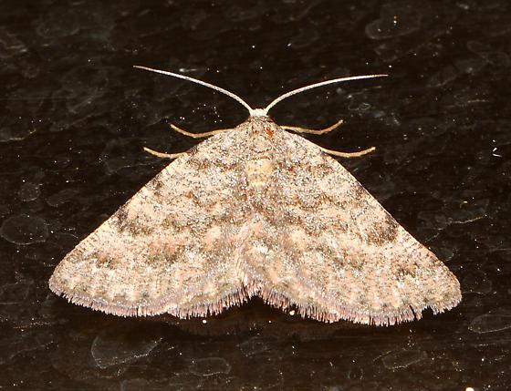unidentified moth - Ixala proutearia - female