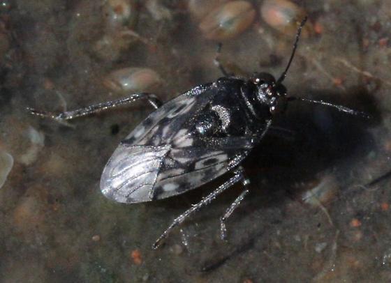 Water-skimming bug - Saldula
