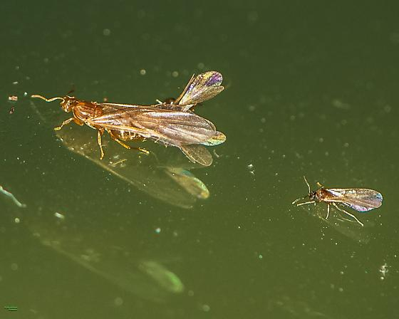 Discovered formicid mating activity on my car window. ID, if possible. - Brachymyrmex depilis - male - female