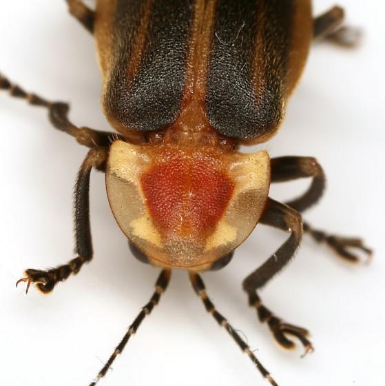 Photuris versicolor COMPLEX - Photuris versicolor - female