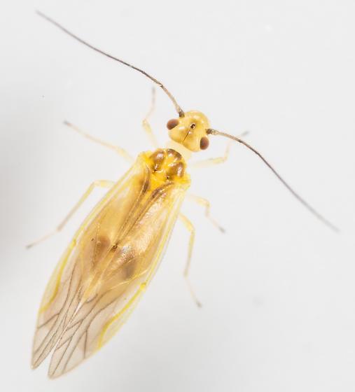Valenzuela flavidus - female
